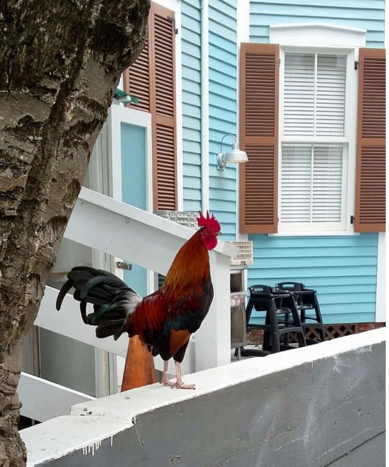 colourful rooster perched on top of a low wall