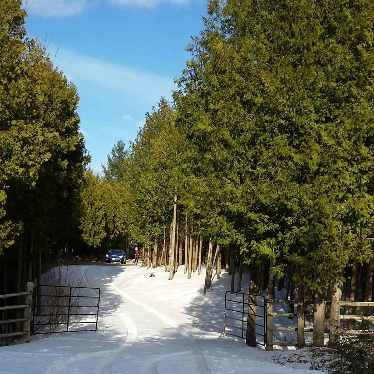 snowy driveway between tall evergreen trees